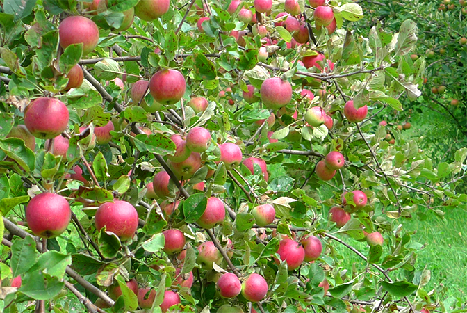 PYO Apples in reach 450H